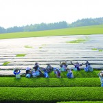 2012茶畑_手摘み上から_小